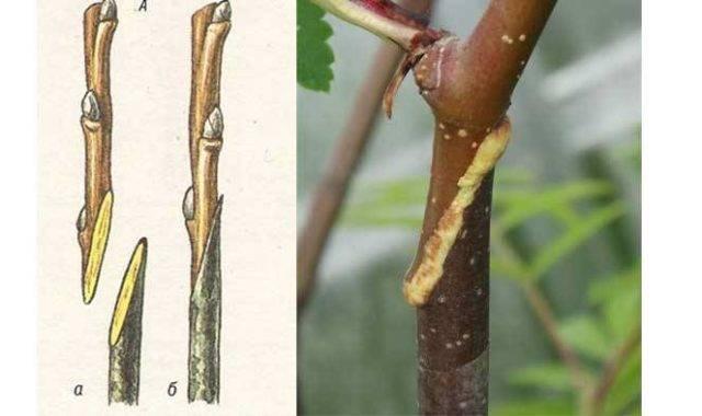 Размножение боярышника семенами дома