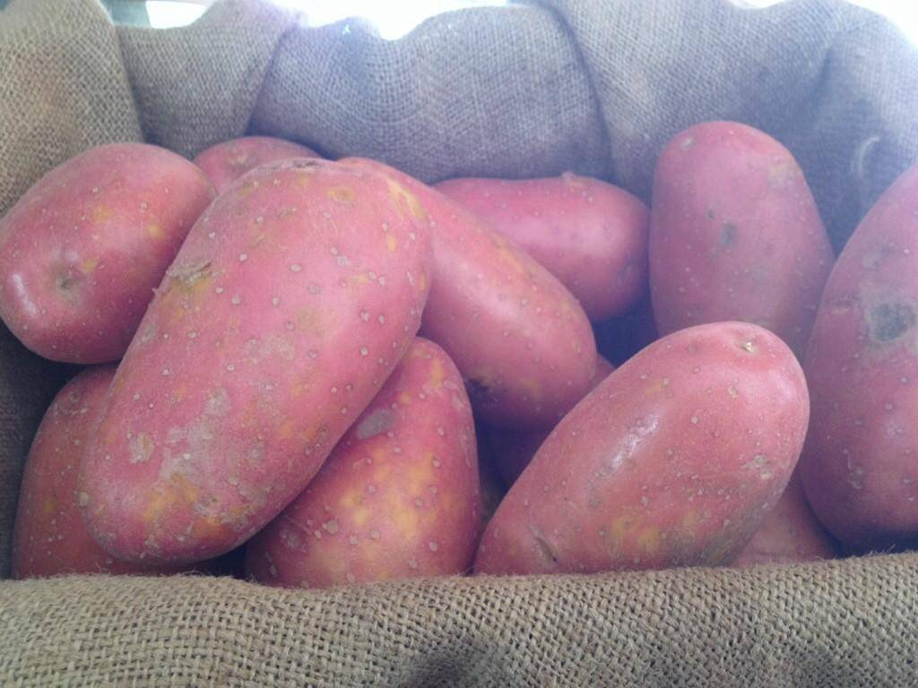 Картофель лабадия: характеристика, посадка и уход
