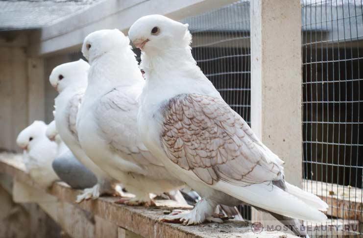 Все о почтовых голубях: разновидности, принципы полета, содержание и разведение