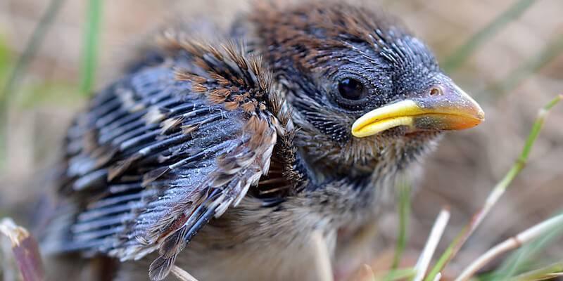 Как выкормить птенца голубя