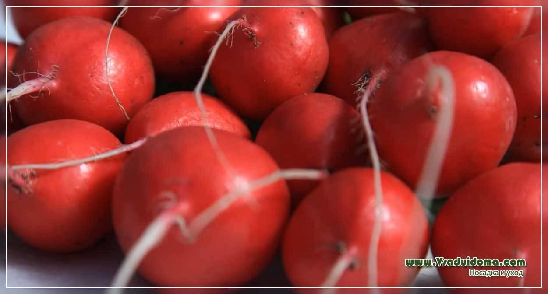 "Редис ""французский завтрак"": особенности выращивания, описание сорта, вид на фото, болезни и вредители"