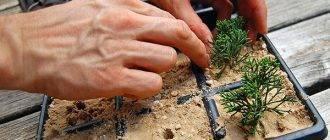 Как размножить, укоренить можжевельник черенками весной в домашних условиях?