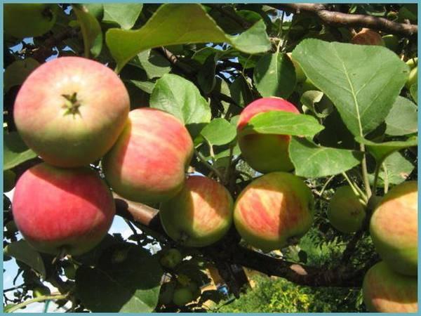 Зимостойкая яблоня башкирский красавец