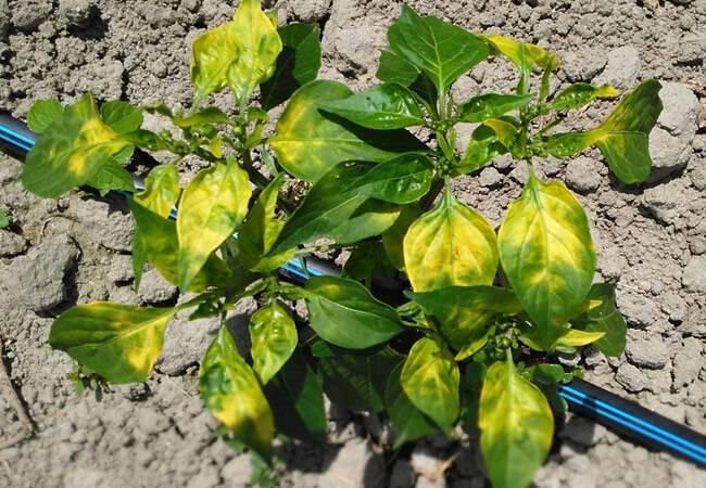 Желтеют листья перца: причины, что делать и как спасти урожай