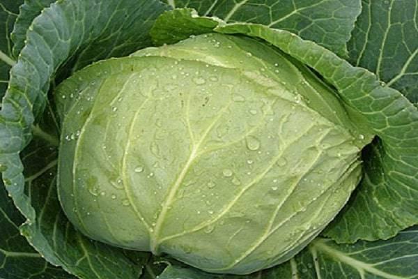 Капуста ринда – высокоурожайный гибрид белокочанной капусты