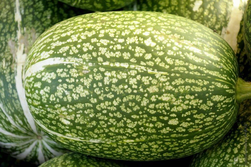 Фиголистная тыква. секреты выращивания - овощные культуры - смолдача - портал дачников, садоводов и любителей загородной жизни