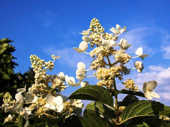 Посадка гортензии метельчатой в сибири, уход, размножение весной