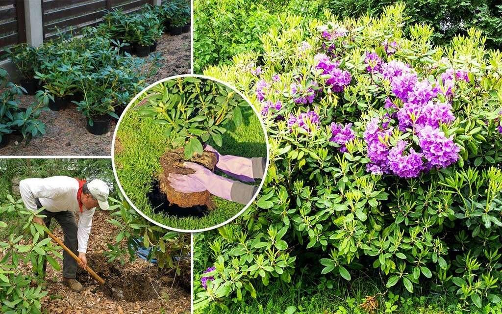 Подкормка рододендронов весной после зимы: чем удобрять?