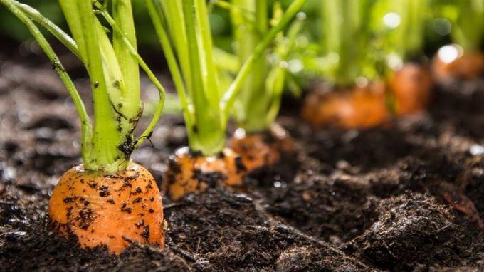 Как сажать морковь семенами в открытом грунте