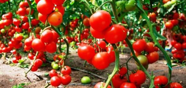 Посадка пророщенных семян помидоров: как осуществлять посев томатов, какое время для этого подходит, каковы возможные ошибки?