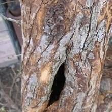 """О чем """"плачет"""" вишня? предупреждаем и лечим камедетечение косточковых"""