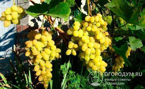 Виноград амурский — описание сорта, фото
