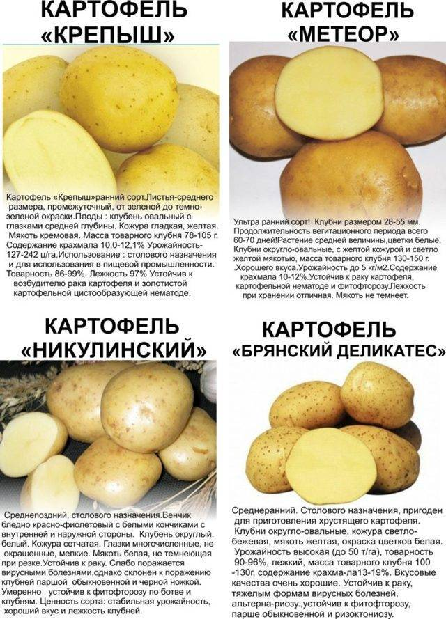 Картофель лабелла — описание сорта, фото, отзывы, посадка и уход