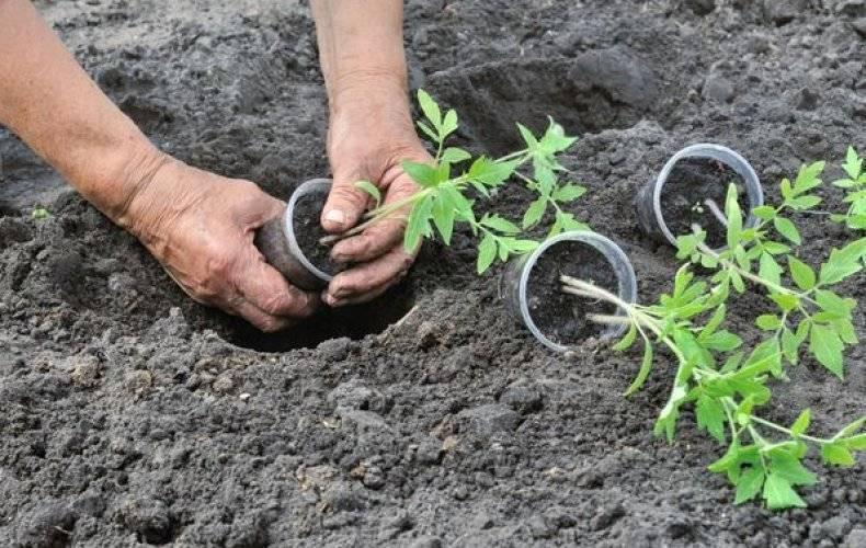 При какой температуре выращивать рассаду помидоров оптимально в домашних условиях, а также каковы требования к минимальному режиму по градусам при посадке томатов?