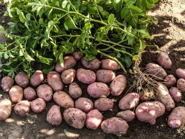 Картофель ред скарлет: описание и характеристика сорта, как выращивать в домашних условиях