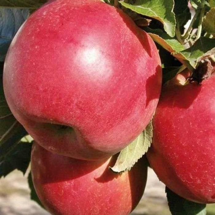 Яблоня эрли женева —  главные характеристики сорта