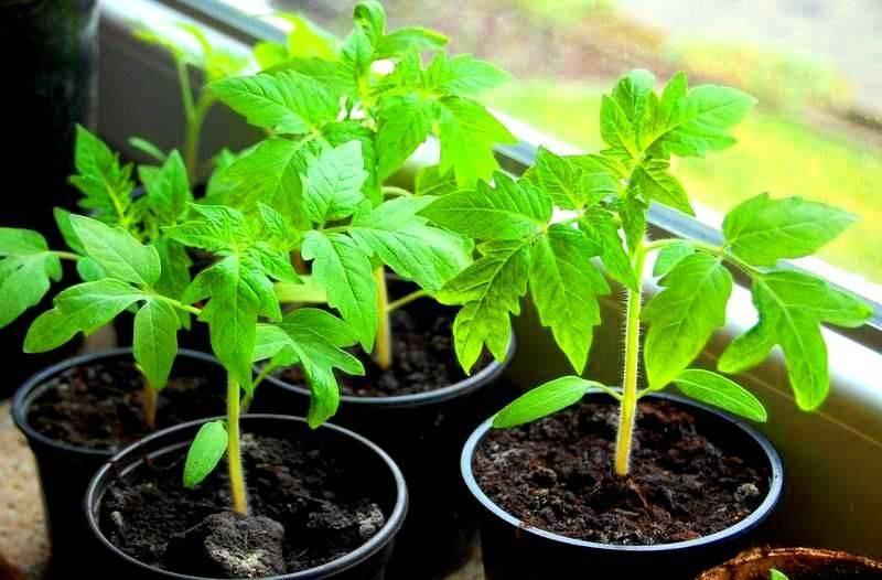Азбука выращивания рассады помидоров от а до я