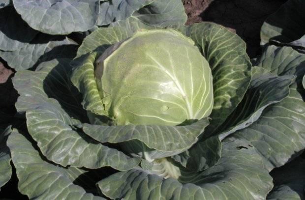 Капуста с нежными листьями — калибос. вид кочана, характерные плюсы и минусы, выращивание