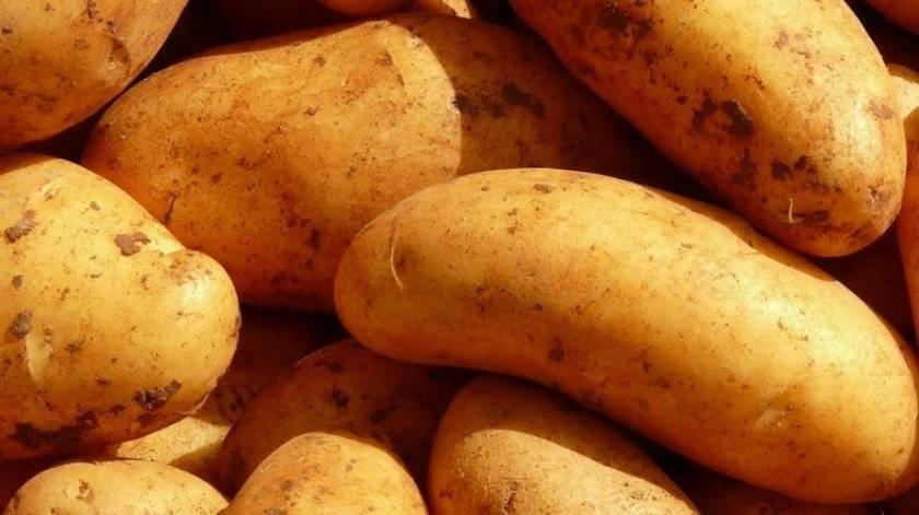 Описание картофеля лидер: характеристика сорта, отзывы, вкусовые качества