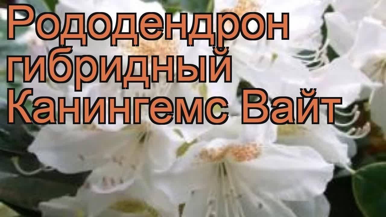 Рододендрон гибридный cunningham s white