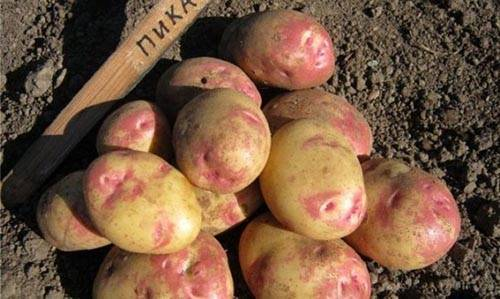 Ранние и суперранние сорта картофеля описание фото отзывы