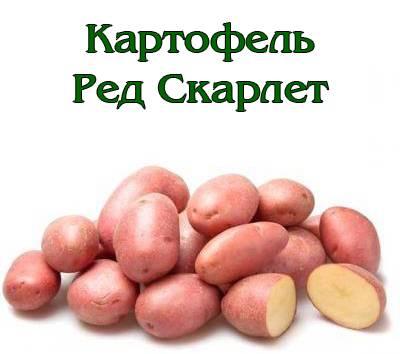 Сорт картофеля ред скарлет и его описание