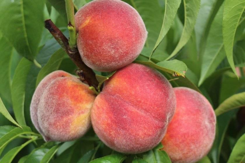 Характеристика и правила выращивания персика московский карлик