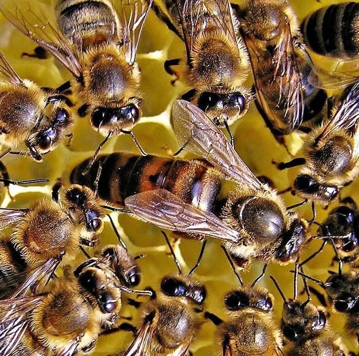 Значение трутня в пчелиной семье