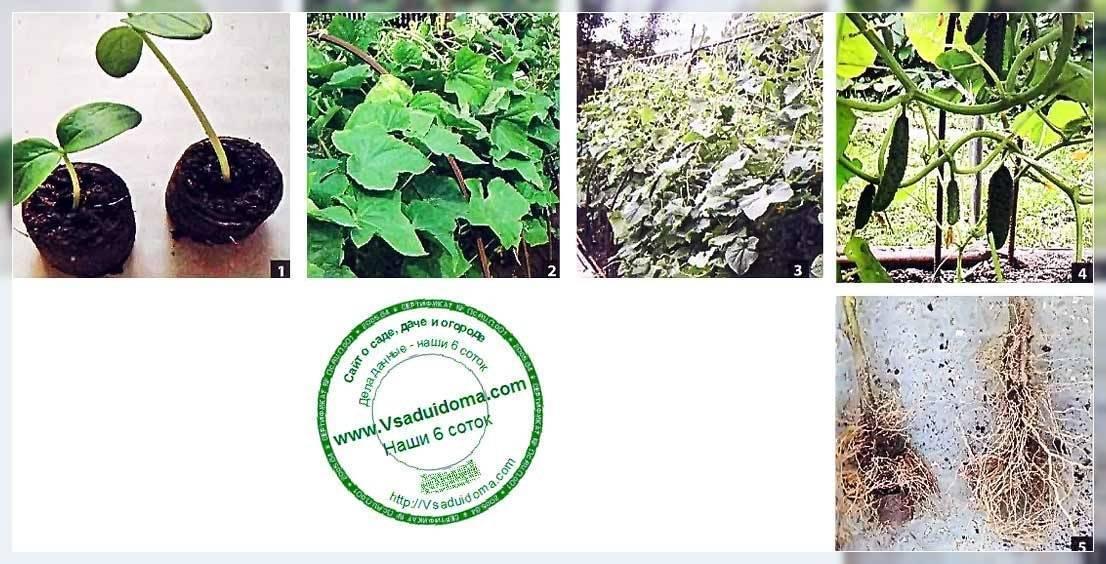 Когда и как сажать рассаду огурцов в торфяные горшочки и таблетки в домашних условиях: выращивание в домашних условиях.