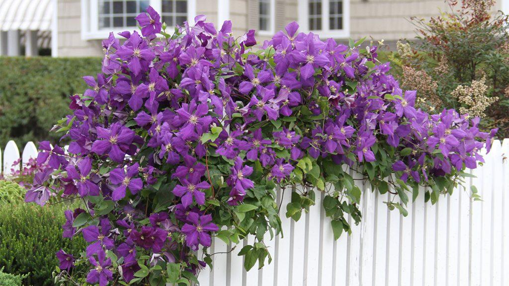 Цветок клематис: фото, описание видов и сортов, видео посадки, ухода и размножение клематисов