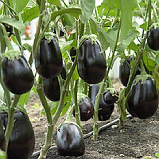 Баклажан валентина f1: описание сорта, секреты хорошего урожая, отзывы и видео