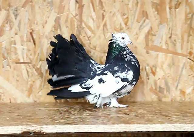 Статные голуби: фото, видео, породы