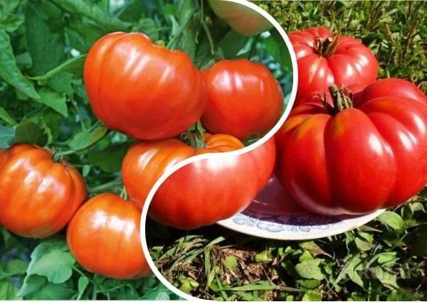 """Томат """"кумир"""": описание сорта, выращивание рассады и правильный уход"""