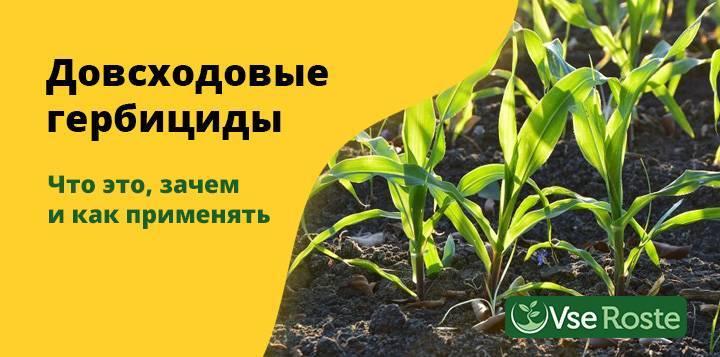 Правильное применение гербицидов для кукурузы после всходов