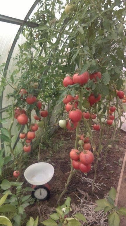 Сорт томата «золотое малиновое чудо»: описание, характеристика, посев на рассаду, подкормка, урожайность, фото, видео и самые распространенные болезни томатов