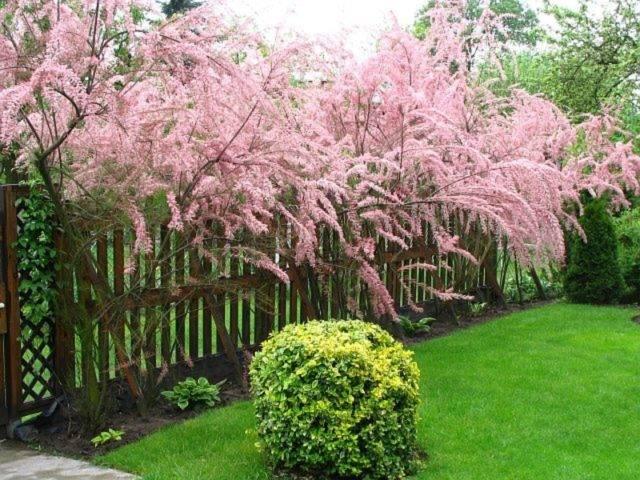 Кустарник тамарикс: посадка и уход в открытом грунте, фото, размножение в саду