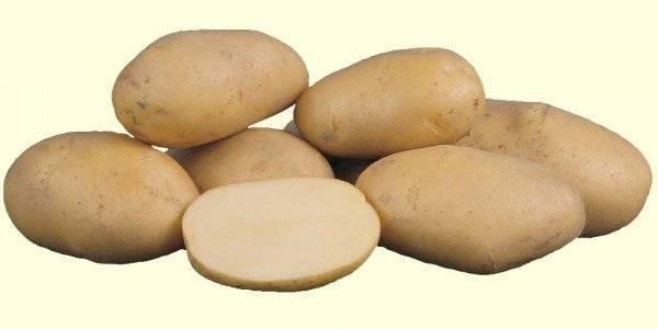 Картофель лапоть – российское чудо народной селекции
