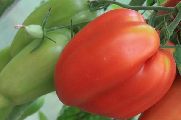 Томат корнабель f1 — описание сорта с фото