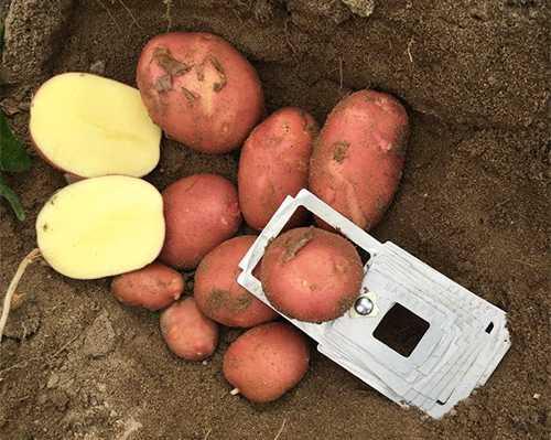«бела роза»: очень ранний и продуктивный сорт картофеля