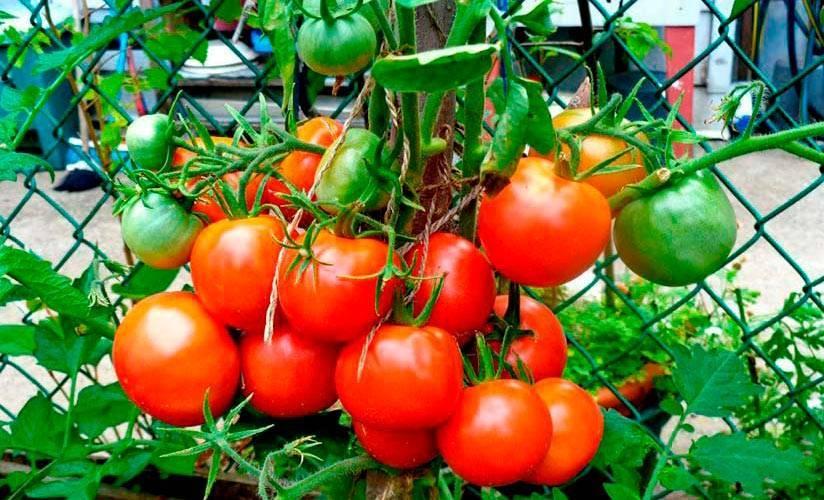 Томат скороспелый лакомка: урожайность, описание, особенности выращивания, отзывы