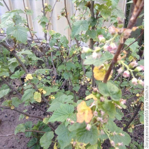 Почему желтеет смородина: обработка, удобрение, уход и особенности выращивания. 110 фото и видео посадки смородины