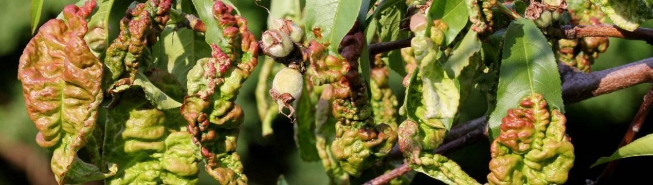 Курчавость листьев персика: меры борьбы и профилактика