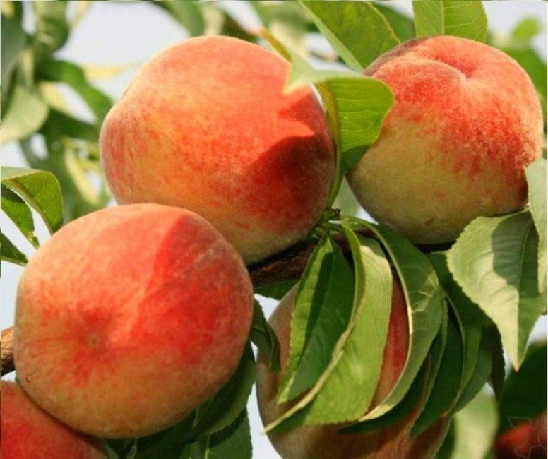 Персик: сорта, их описание, фото и особенности выращивания