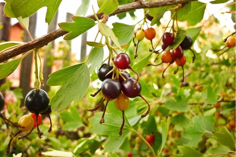 Как ухаживать за смородиной весной, чтобы урожай радовал