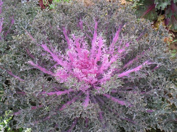 Растение декоративная капуста: описание, сорта с названием и фото