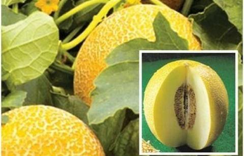 Сорта дынь для выращивания в сибири — описание, особенности посадки