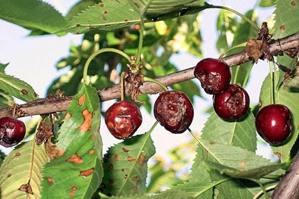 Меры борьбы и профилактики с коккомикозом вишни