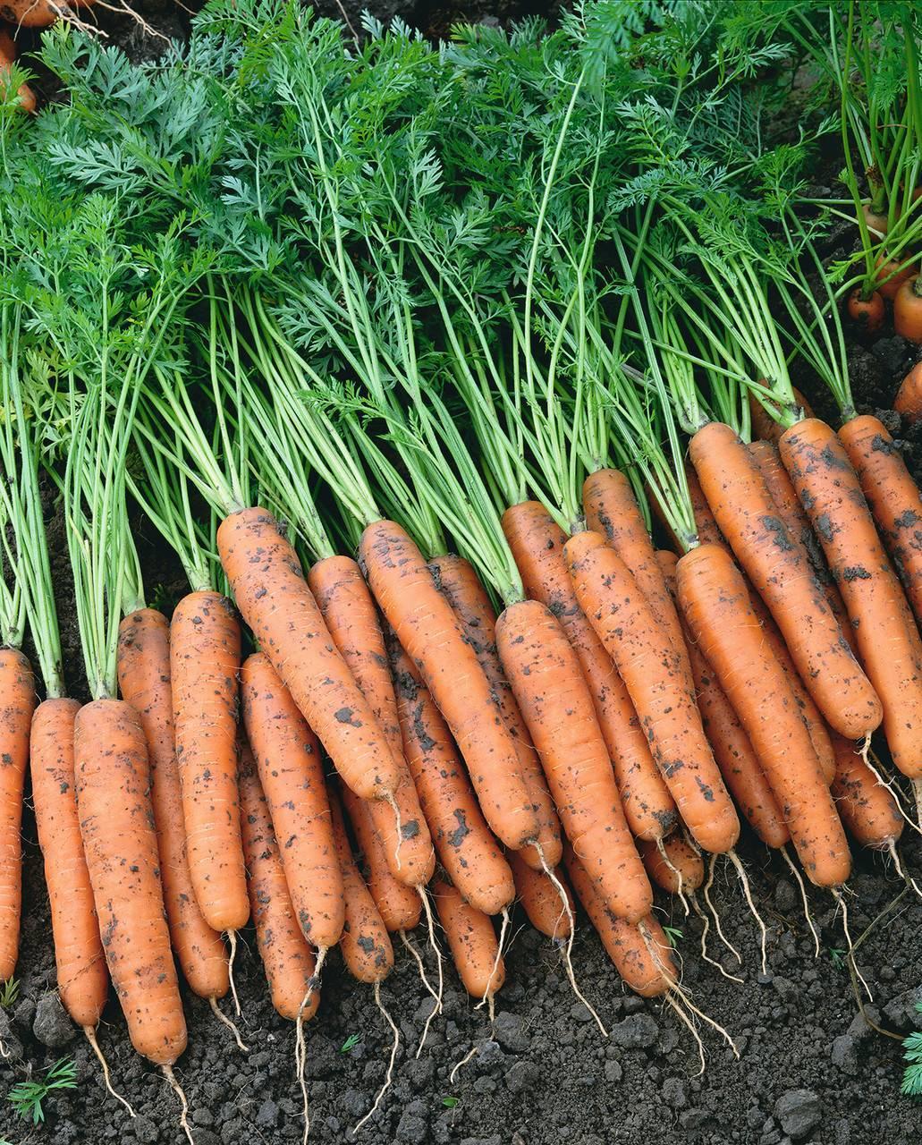 Морковь наполи f1: описание, характеристика, фото, отзывы