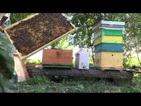 Слабая пчелосемья: какие меры предпринять