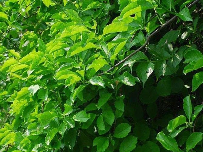 Древогубец метельчатый (celastrus paniculatus)